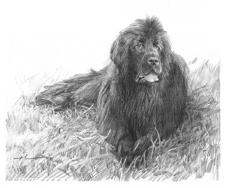 Newfoundland Dog Pencil Portrait Drawing by Mike Theuer