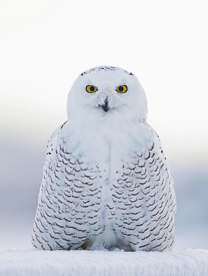 Snowy Owl Photograph - Nh Seacoast Snowy Owl  by John Vose