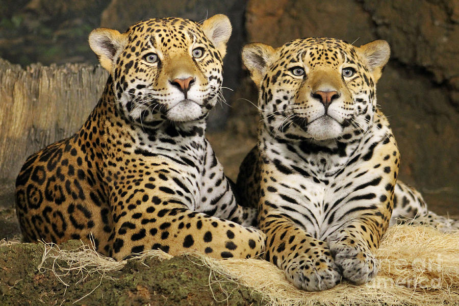 Leopard Photograph - Nice Kittys by Eric Curtin