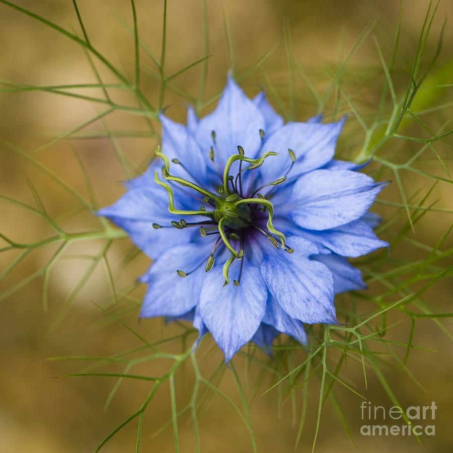Garden Photograph - Nigella Damascena by Anne Gilbert