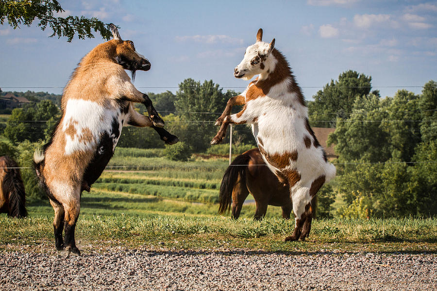 three dancing goats The dancing goat august 1, 2017 four times in one day, i have been asked to provide tours for folks that would love to see the farm, want to see how we do things, learn about goats, visit the farm, see the milking process, etc.
