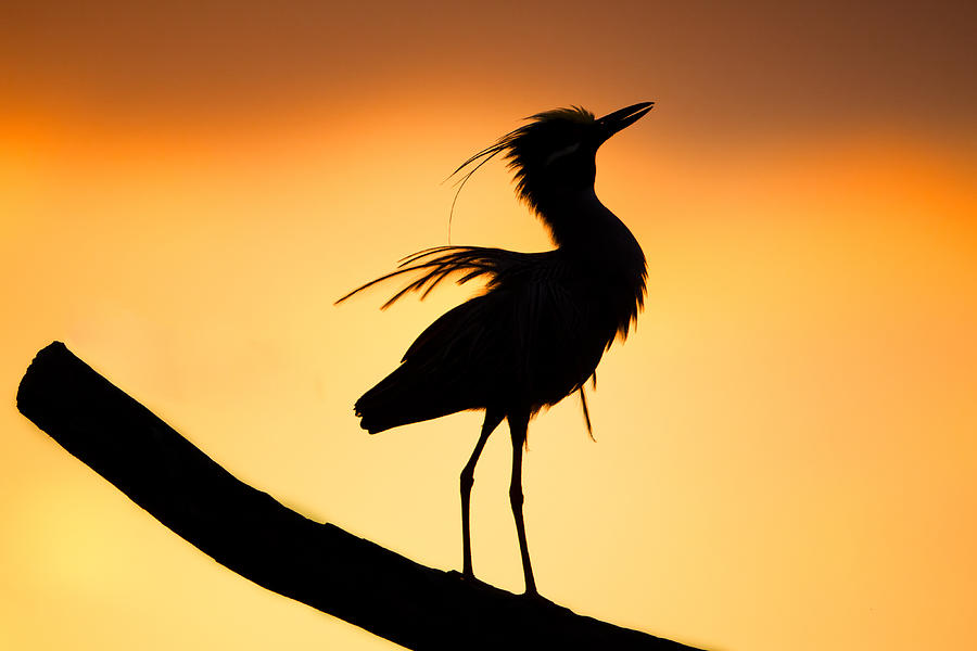 Adult Photograph - Night Heron Silhouette 2 by Andres Leon