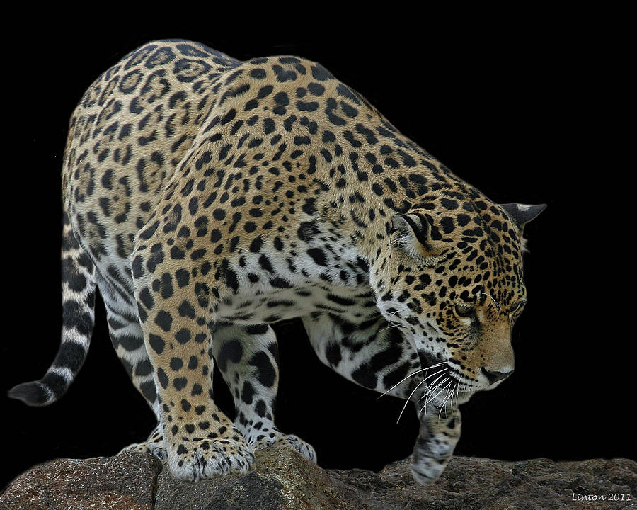Jaguar Photograph - Night Prowler 2 by Larry Linton
