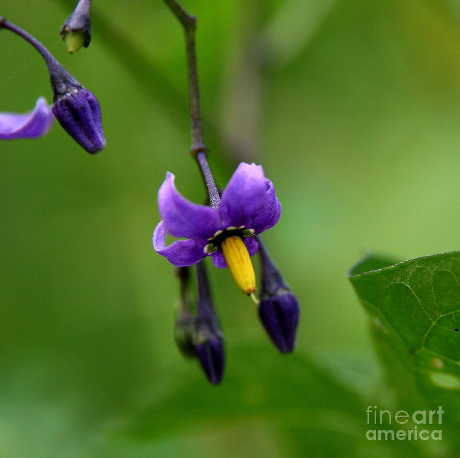 Floral Photograph - Nightshade by Neal Eslinger