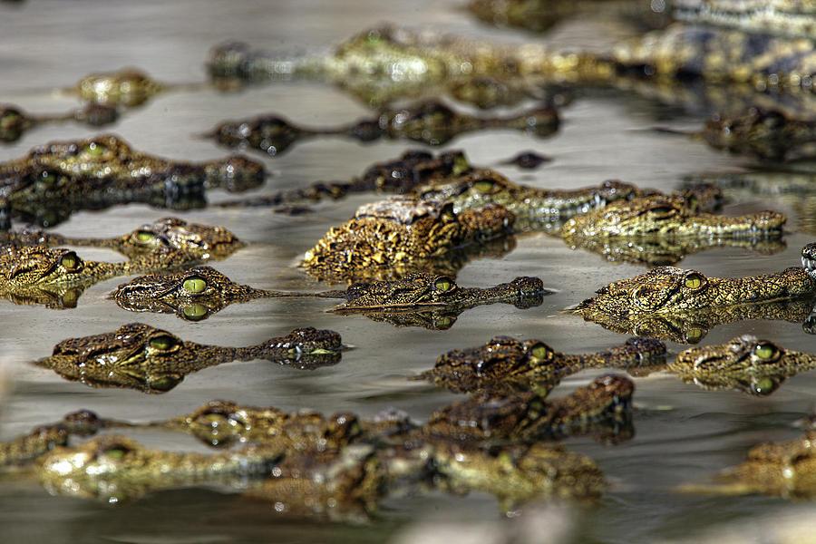Wildlife Photograph - Nile Crocodiles Crocodylus Niloticus by David Santiago Garcia