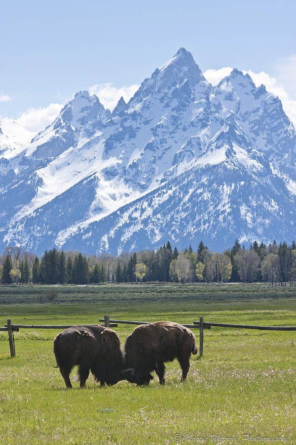 Grand Tetons Photograph - No Butts About It by Charles Warren
