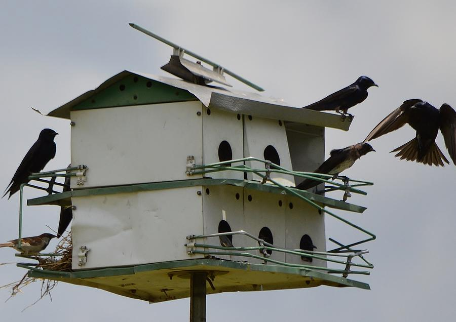Purple Martins Photograph - No Tell Martin Motel  by Stefon Marc Brown