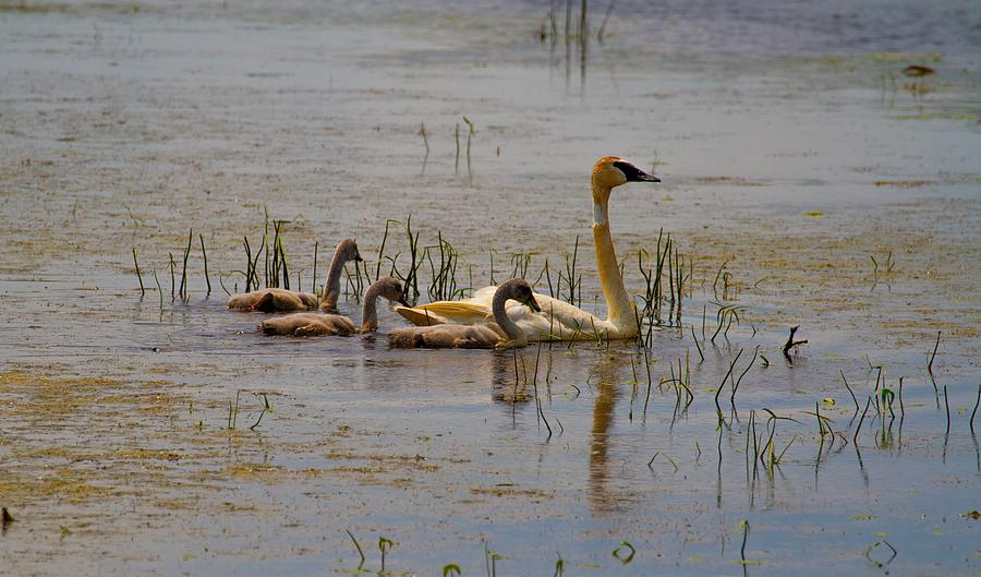 No Ugly Duckling Photograph
