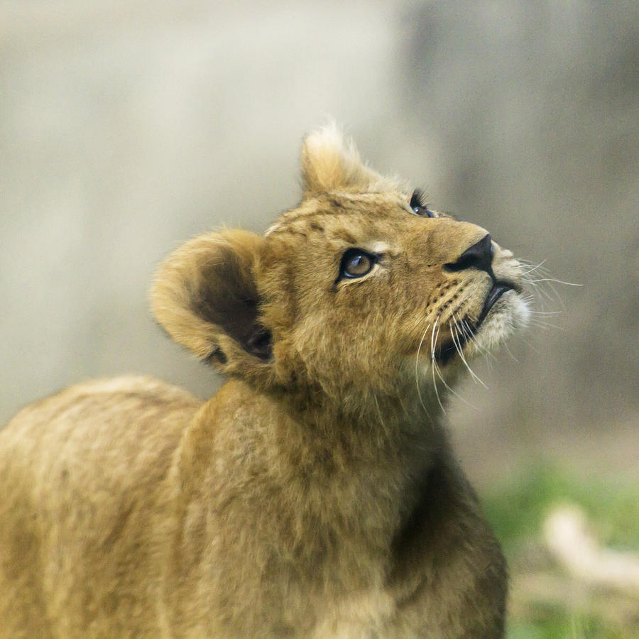 Lion Photograph - Nobuhle - Looking Up by Sonya Lang