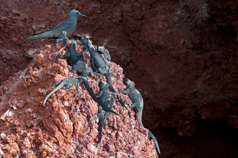 Galapagos Islands Photograph - Noddy Worship by David Beebe
