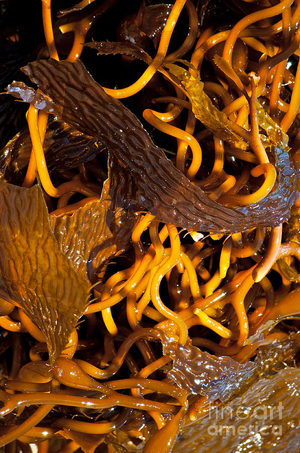 Seaweed Photograph - Noodles Of The Sea by Gwyn Newcombe