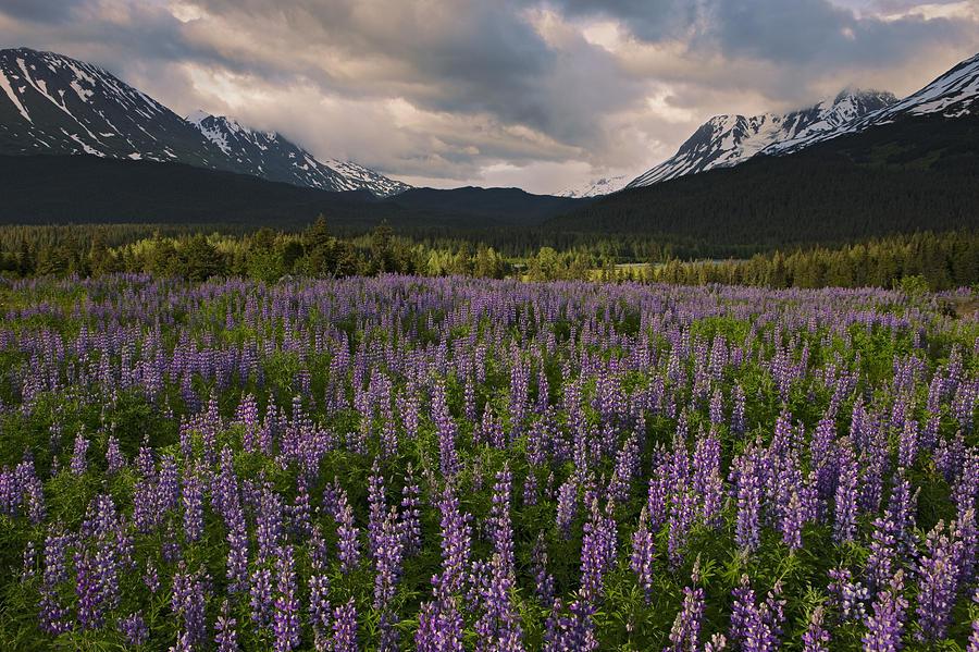 Nootka Lupine Chugach Nf Alaska Photograph by Ingo Arndt