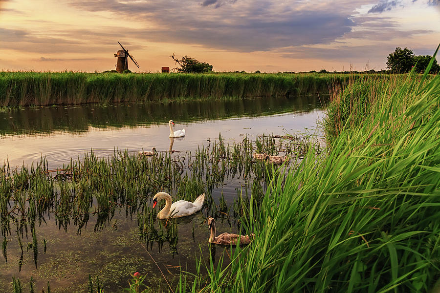 Norfolk Broads Swans By Stevendocwra