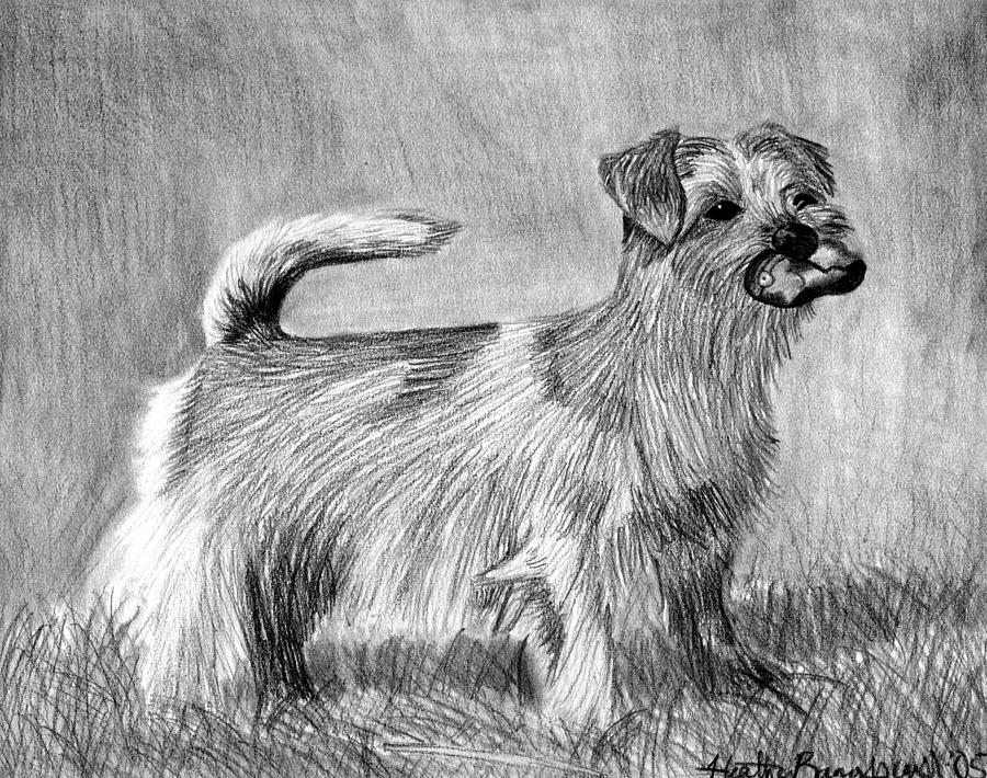 Norfolk Terrier Dog Portrait Drawing by Olde Time  Mercantile