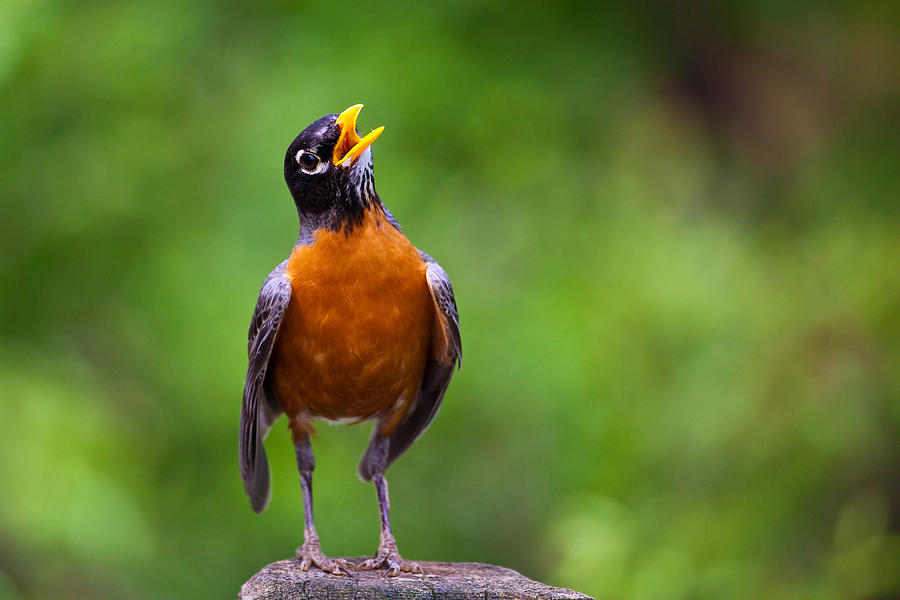 North American Robin In Song Photograph by Rick Furmanek