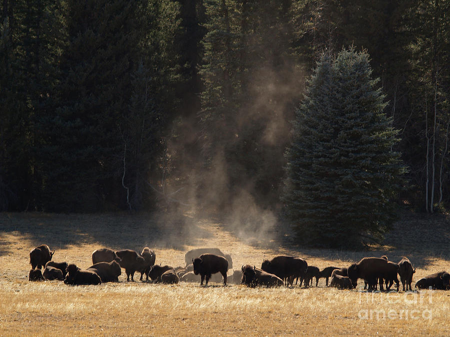 Landscape Photograph - North Rim Bison Of The Grand Canyon by Alex Cassels