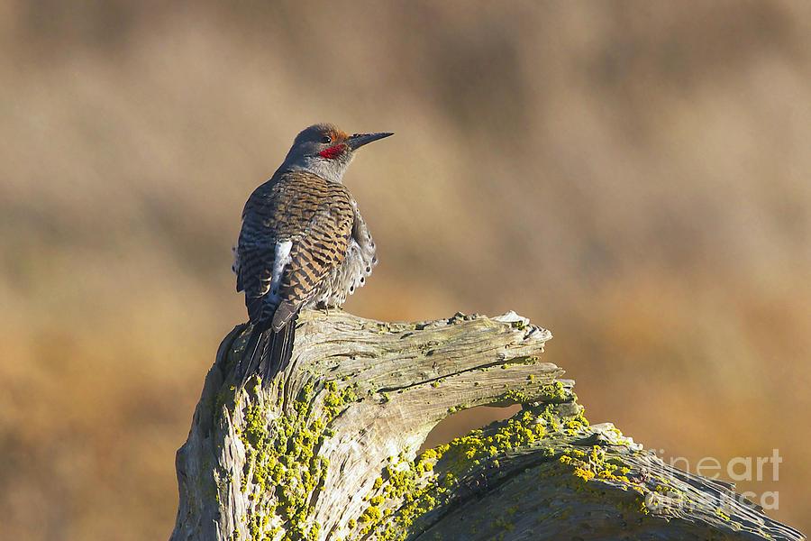 Northern Flicker Photograph - Northern Flicker by Sharon Talson