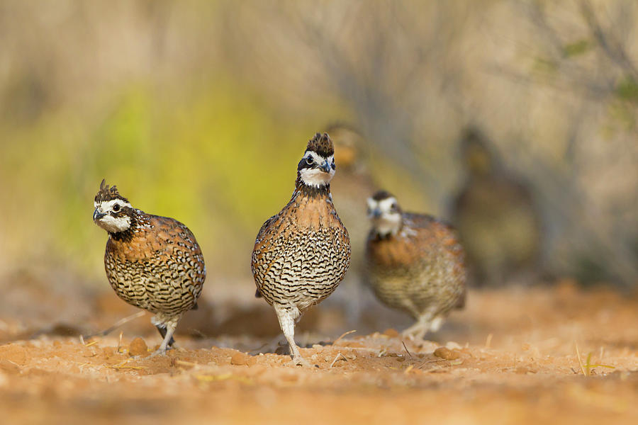 Bird Photograph - Northern Bobwhite Quail (colinus by Larry Ditto