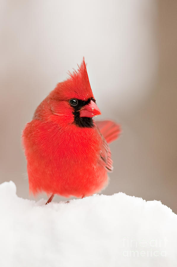 Northern Cardinal by Jean A Chang