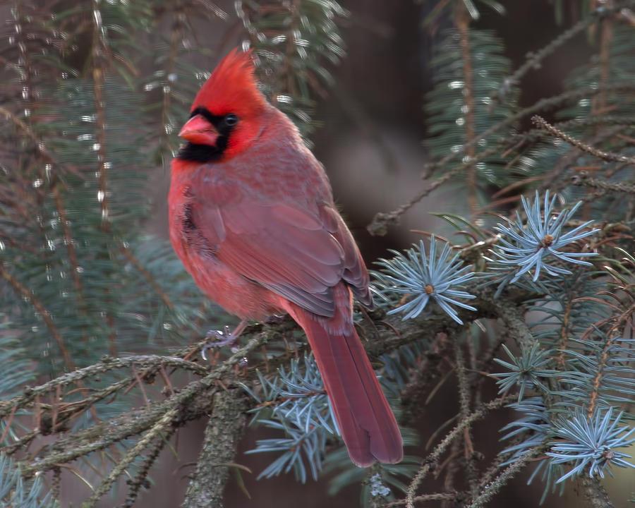 Cardinals Photograph - Northern Cardinal by John Kunze