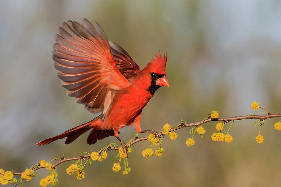 Bird Photograph - Northern Cardinal Male Landing by Larry Ditto