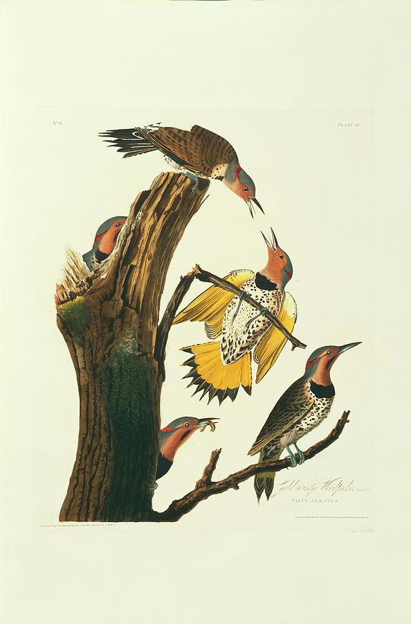 Illustration Photograph - Northern Flicker Birds by Natural History Museum, London/science Photo Library