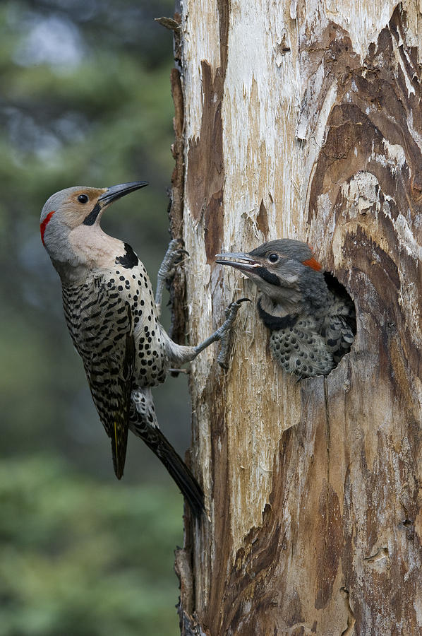 Northern Flicker Parent At Nest Cavity Photograph by Michael Quinton