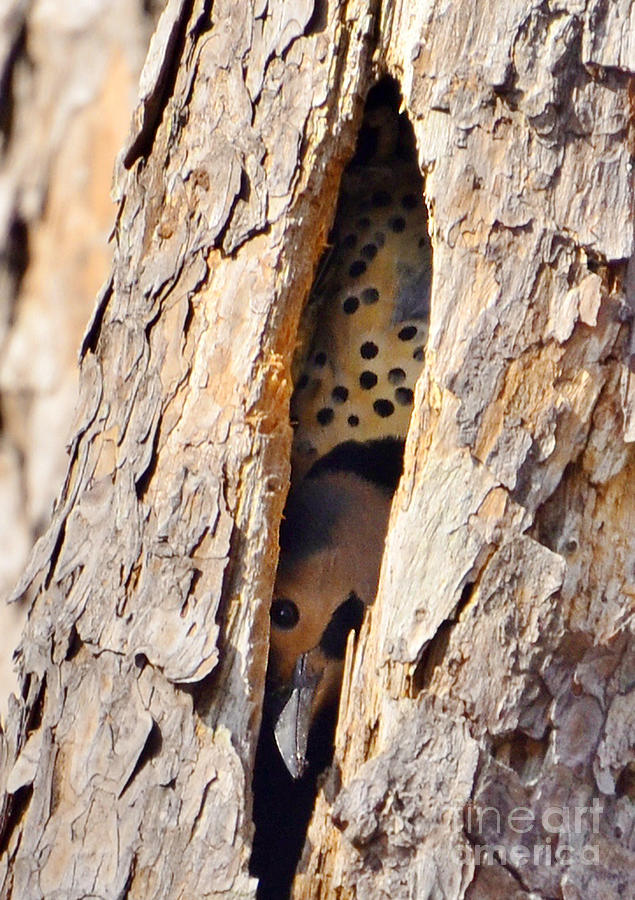 Birds Photograph - Northern Flicker Playing Peek-a-boo by Kathy Baccari