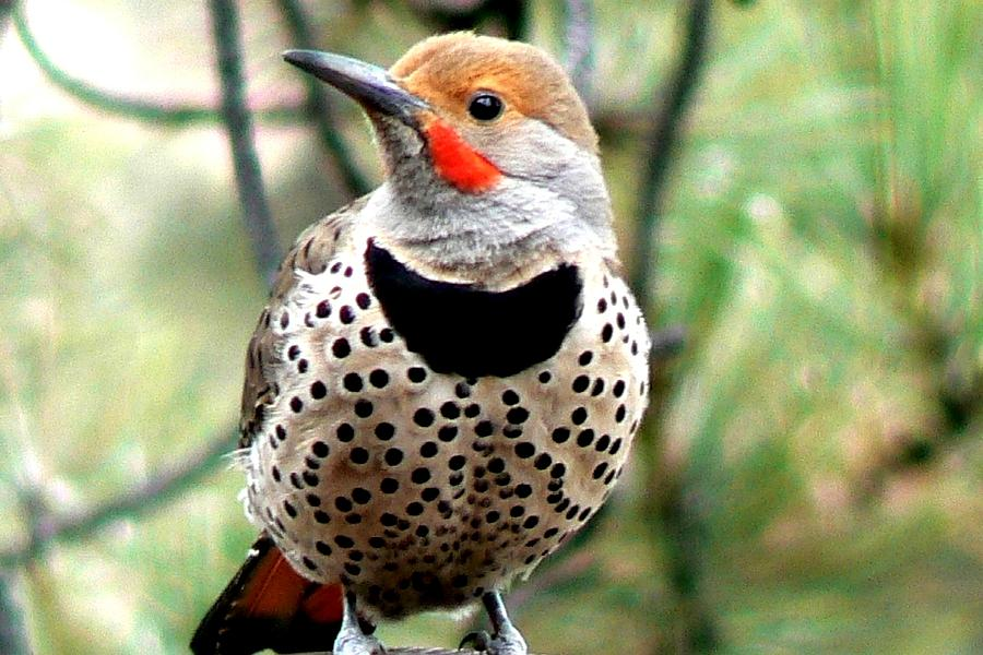 Northern Flicker Spotted Chest Photograph By Marilyn Burton