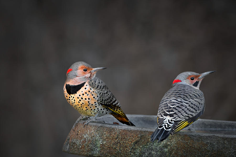 Northern Flicker Photograph - Northern Flickers by Bill Wakeley
