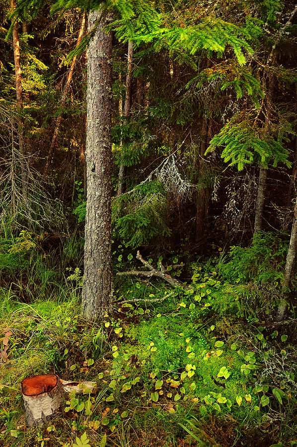 Nature Photograph - Northern Forest 1 by Jenny Rainbow