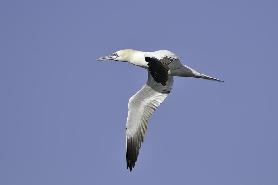 Gannet Photograph - Northern Gannet In Flight by Bradford Martin
