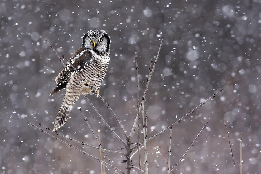 Northern Photograph - Northern Hawk Owl in Storm by Rachel Bilodeau