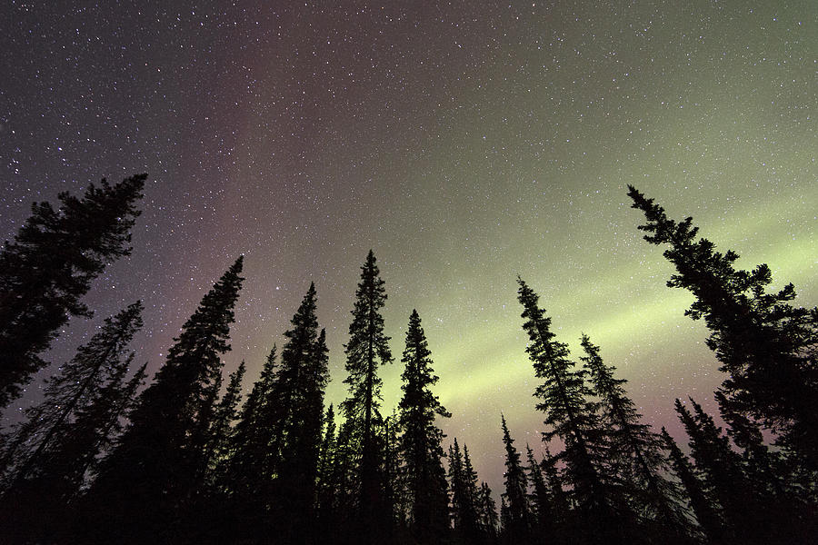 Northern Lights Over Boreal Forest Photograph by Ingo Arndt