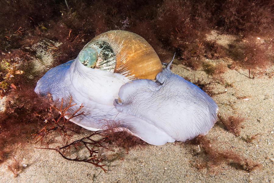 Lunatia Heros Photograph - Northern Moon Snail by Andrew J. Martinez