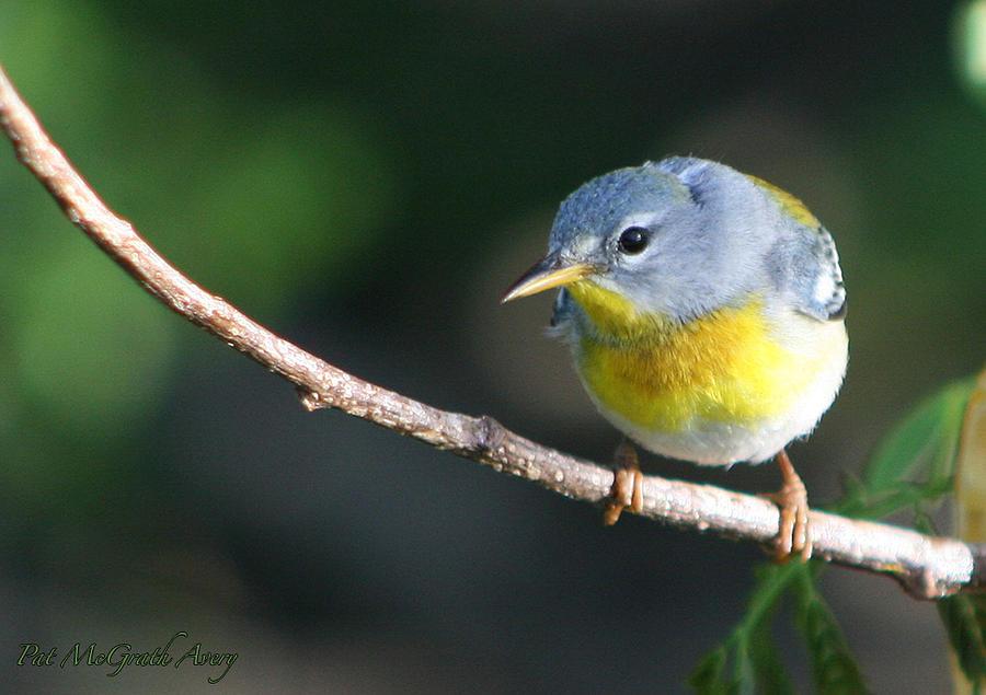 Birds Photograph - Northern Perula by Pat McGrath Avery