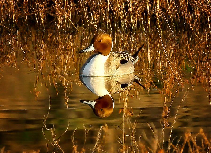 Duck Digital Art - Northern Pintail Duck by Thomas Kaestner