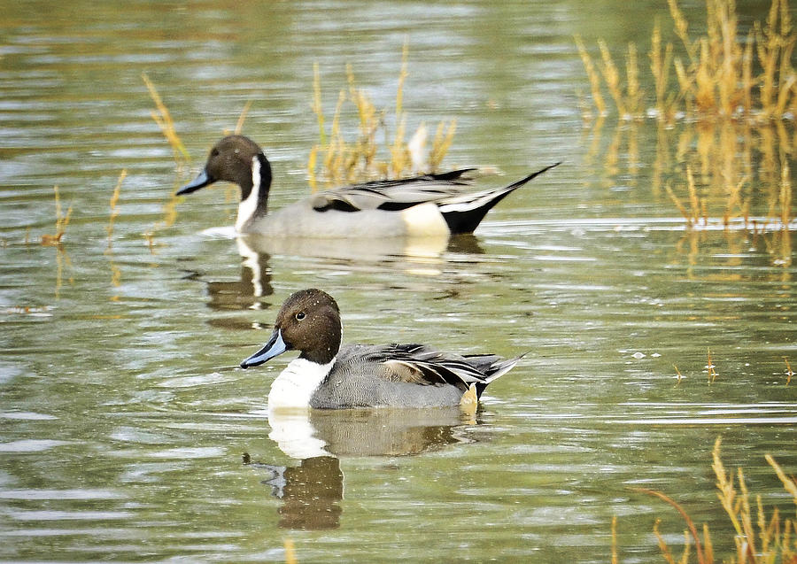Northern Pintail Duck Photograph - Northern Pintail Ducks  by Saija  Lehtonen