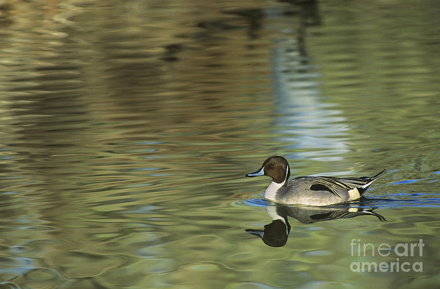 North America Photograph - Northern Pintail In A Quiet Pond California Wildlife by Dave Welling