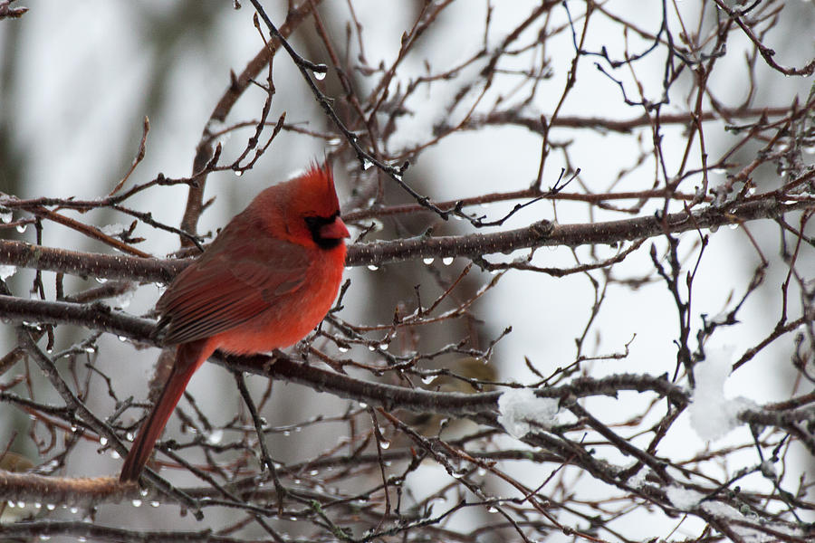 Northern Red Cardinal In Winter Photograph