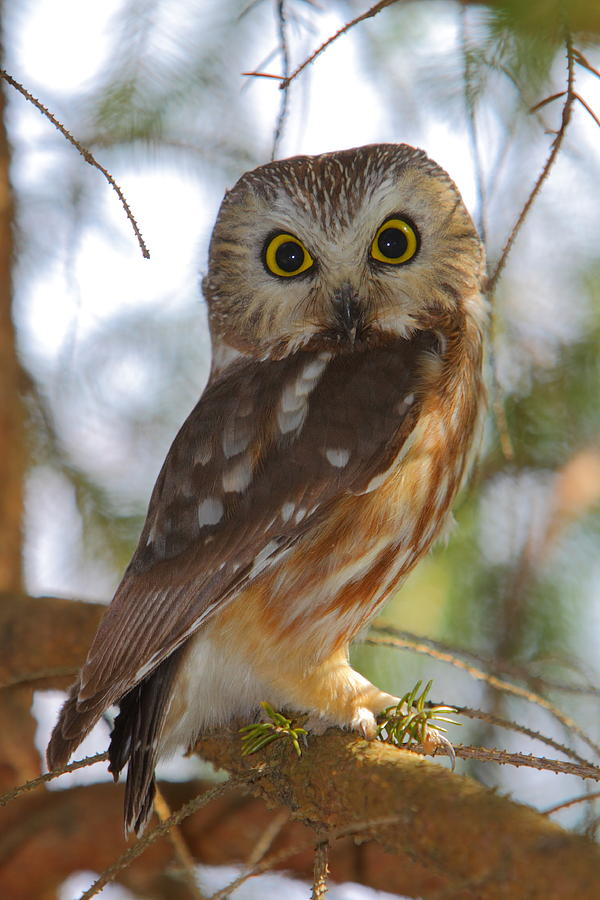 Northern Saw Whet Owl Photograph By Bruce J Robinson