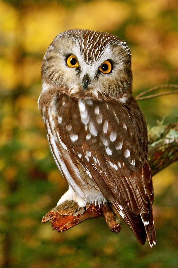 northern saw whet owl photograph by charles cormier