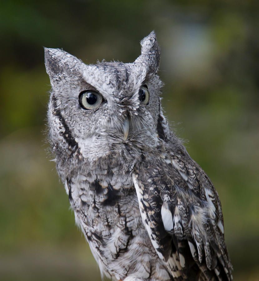 Northern Screech Owl by Larry Bohlin