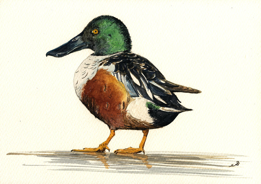 Northern Painting - Northern Shoveler by Juan  Bosco