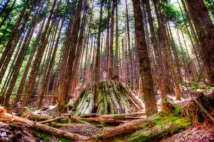 Tree Photograph - Northwest Old Growth by Spencer McDonald