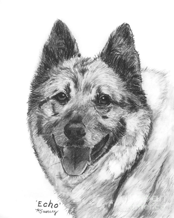 Norwegian Elkhound Drawing - Norwegian Elkhound Sketch by Kate Sumners