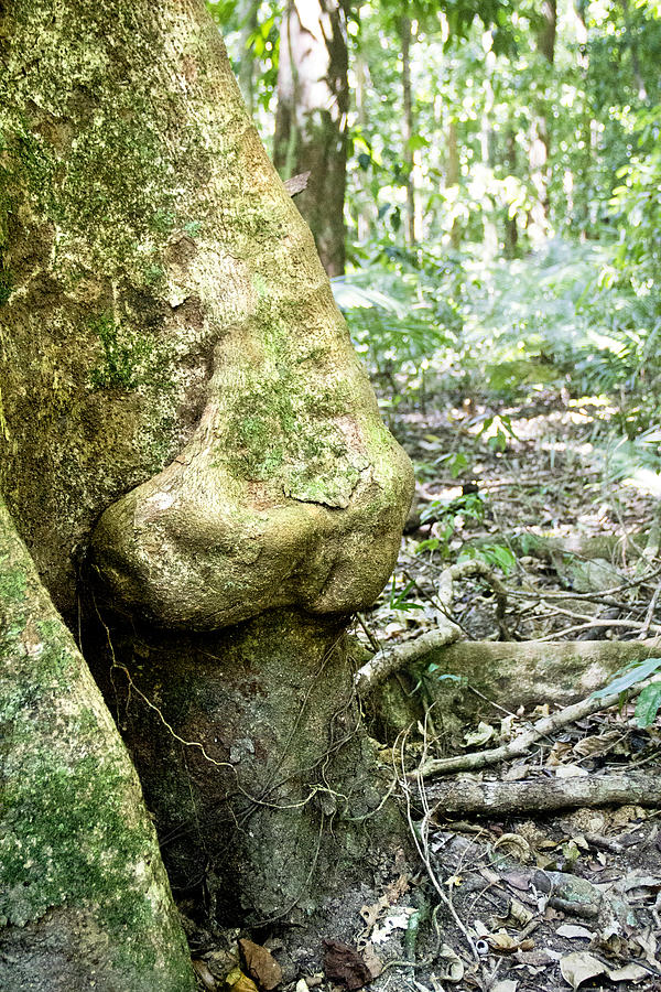 Rain Forest Photograph - Nose Tree In Gwandanaland by Debbie Cundy