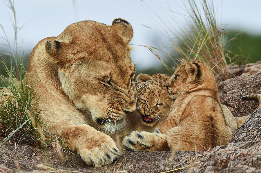 Animals Photograph - Nostalgia Lioness With Cubs by Aziz Albagshi