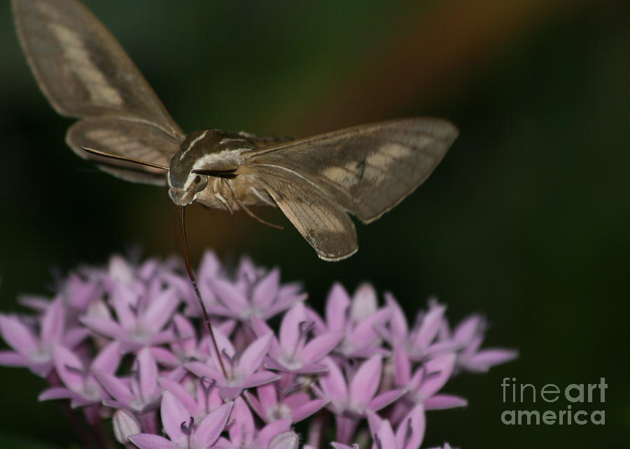 Hummingbird Moth Photograph - Not A Hummer by Marty Fancy