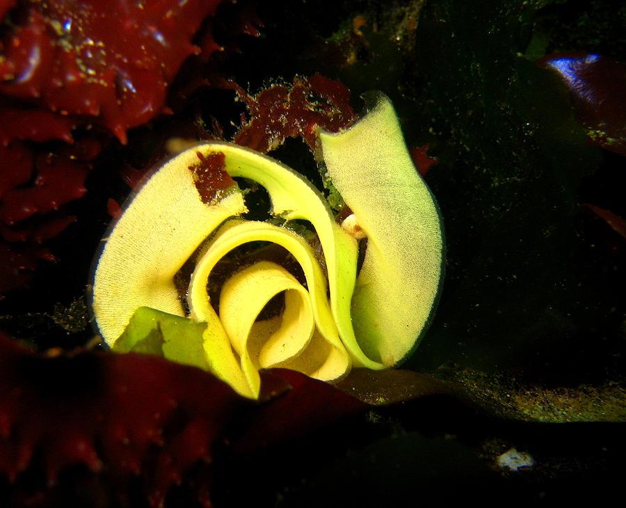 Nudibranch Photograph - Nudibranch Eggs by April Muilenburg